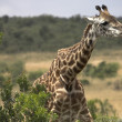 Stock Photo: Rothschild Giraffe Eating AcaciTree