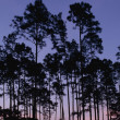 Stock Photo: Slash Pines At Twilight