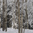 Trees Covered In Snow — Foto de Stock