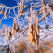 Foto Stock: Heavy Frost On Leaves