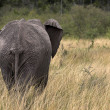 African Elephant Walking In Long Grass — Стоковая фотография