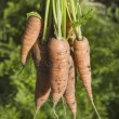Carrots From The Garden — Stock Photo