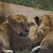 Stock Photo: Lion Cubs Nursing, Africa