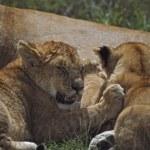 Lion Cubs Nursing, Africa — Stock Photo