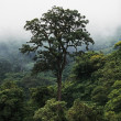 Large Tree In Fog, Ngorongoro Conservation Area, Tanzania, East Africa — Stock Photo