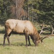 An Elk (Cervus Canadensis) In The Woods — Stock Photo