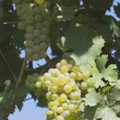 White Grapes On The Vine — Stock Photo