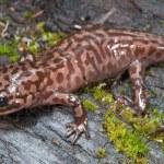 California Giant Salamander (Dicamptodon Ensatus) — Stock Photo #31942671