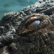 Saltwater Crocodile (Crocodylus Porosus) — Stock Photo #31942915