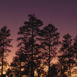 Ponderosa Pine Trees (Pinus Ponderosa) — Stock Photo