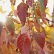 Red Leaves And Green Berries On A Tree — Stock Photo