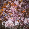 Pink Cherry Blossoms — Stock fotografie