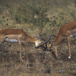 Impala (Aepyceros Melampus) Bucks Sparring — Photo