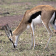 Stock Photo: Gazelle Grazing On Grassy Plain