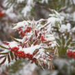 Fresh Snow On Red Berries — Stock Photo