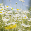 Field Of Daisies — Foto de Stock