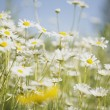 Field Of Daisies — Stock fotografie
