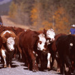 Stock Photo: Cattle Roundup