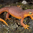 Small Coastal Range Newt, Santa Cruz, California — Stock Photo
