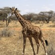 Giraffe - Samburu National Reserve, Kenya, Africa — Stock Photo