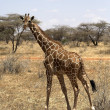 Stock Photo: Giraffe - Samburu National Reserve, Kenya, Africa