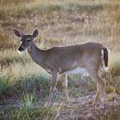 Key Deer In Meadow — Stock Photo #31945681