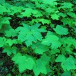 Green maple leaves background — Stock Photo