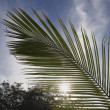 Stock Photo: Palm Leaf Frond In Sunlight, CostRica