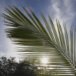 Palm Leaf Frond In Sunlight, Costa Rica — Stock Photo