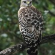 Stock Photo: Red-Shouldered Hawk (Buteo Lineatus) Perched On A Branch