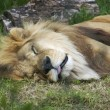 Sleeping Lion (Panthera Leo) — Stock Photo