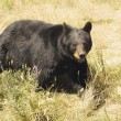A Black Bear — Stock Photo