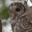 Juvenile Barred Owl (Strix Varia) — Foto Stock
