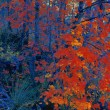 Vivid Red Autumn Trees — Stock Photo
