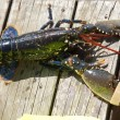 Lobster With Claws In Restraints, Burnmouth, Scottish Borders, Scotland — Stock Photo