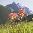 Indian Paintbrush In A Mountain Meadow — Stock Photo