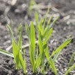 Stock Photo: Wheat Grass In It's Early Stages Of Growth