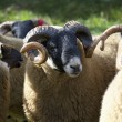 Stock Photo: Sheep Tagged On Their Ears. Northumberland, England