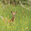 White-Tailed Fawn Alert In A Clearing — 图库照片