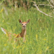 Foto Stock: White-Tailed Fawn Alert In Clearing