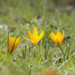 Yellow Flowers Growing In Grass — Stock Photo