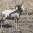 Bighorn Sheep (Ovis Canadensis) — Stock Photo