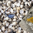 Stock Photo: Abundance Of Seashells Beside Rock