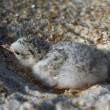 Least Tern In Sandy Nest On Beach, Florida, Usa — Stock Photo