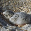 Stock Photo: Least Tern In Sandy Nest On Beach, Florida, Usa
