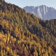 Autumn Larches — Stock Photo