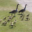 Stock Photo: group of goslings on the grass with two parent geese