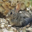 Stock Photo: Young Cottontail Rabbit