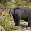 American Black Bear (Ursus Americanus). Alberta, Canada — Stock Photo