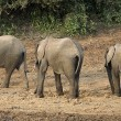 AfricElephants, Mount Kenya, Kenya, Three Elephants Walking In Row — Stock Photo #31948567